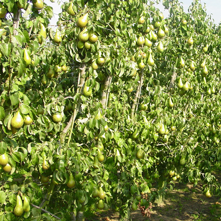 fruitbomen haag 2