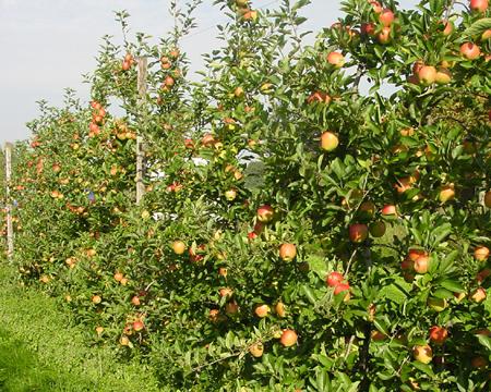 fruitbomen haag 1